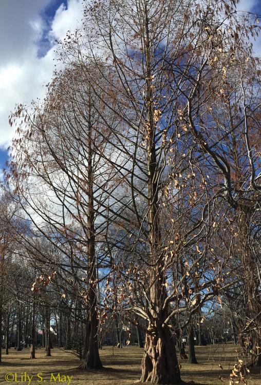 trees kew beach jan 2016