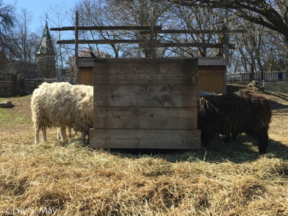 SheepFeeding