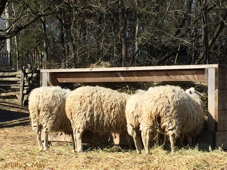 SheepFeeding2