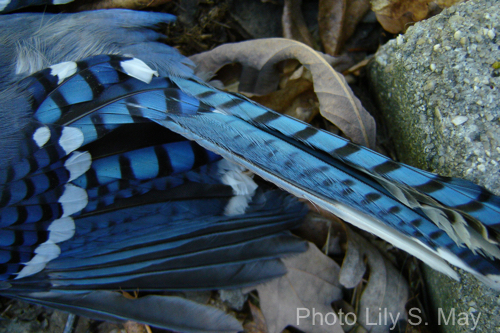 bluejay feathers