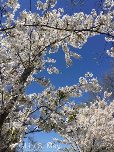 Cherry blossoms 2018 2